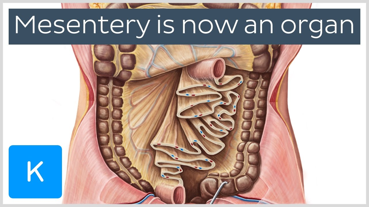 small resolution of diagram of mesentery