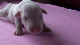 ミニチュアブルテリアの子犬です。 ホワイト オス 子犬の詳細は → http:...