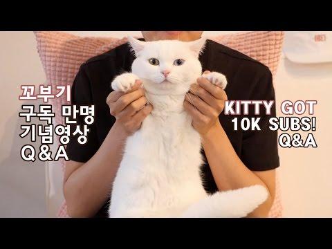 꼬부기 구독자 만명 기념영상 Q&A - 오드아이 먼치킨 고양이 Munchkin Cat Gato マンチカンねこ 短足猫