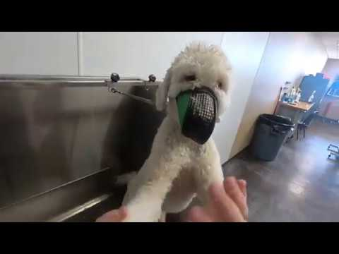 Ear Hair Plucking on a VERY DIFFICULT Goldendoodle