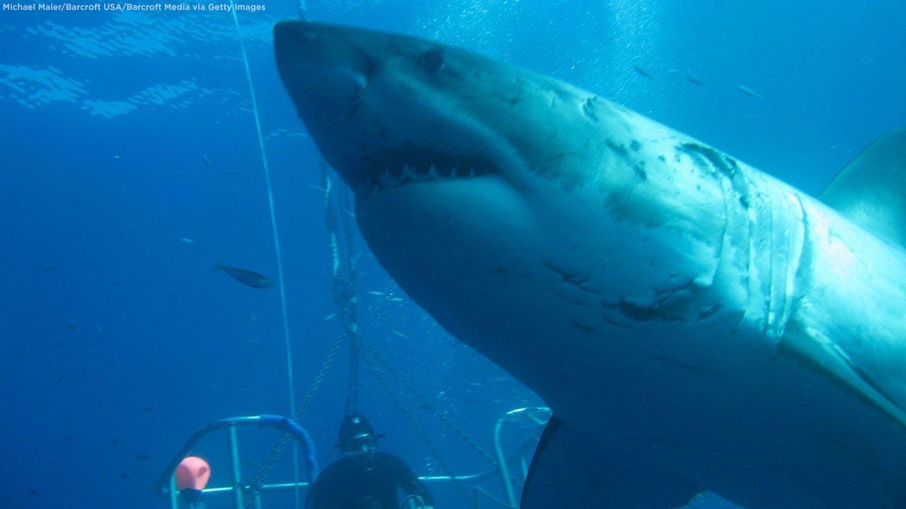 Biggest great white shark ever filmed? Meet 20-foot Deep Blue