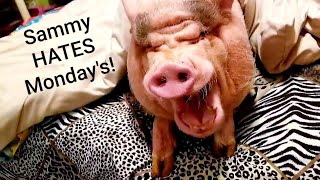 A CRAZY MINI PIG MONDAY MORNING ROUTINE 💖🐽💖