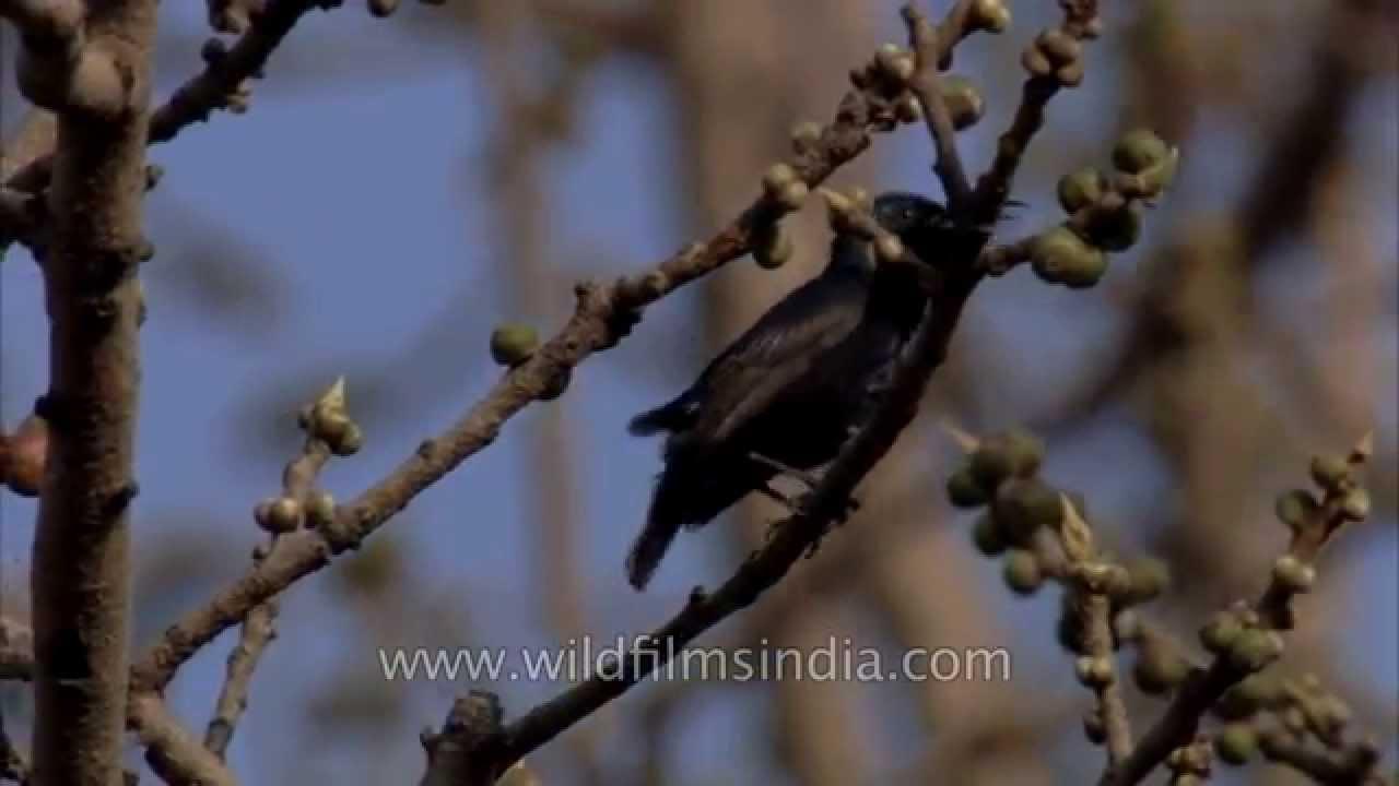 Life around silk cotton tree (Bombax ceiba) in Delhi