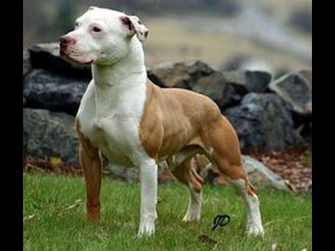 كل حاجة عايز تعرفها عن كلب البيتبول شرح بالعربي American