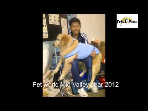 hercules tay golden retriever special edition from pets in peace malaysia pets cremation services