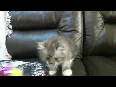 Silver classic tabby tuxedo male RagaMuffin kitten