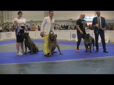 Dogo Canario Euro dog show 2017 in Kiev Ukraine