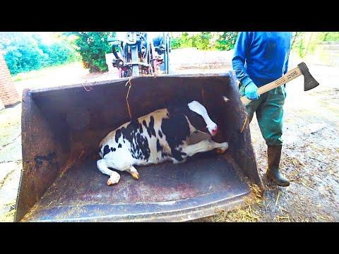 Intelligent Technology Modern Cow Calf Transportation Automatic Hay Milk Feeding Smart Cowshed Farm