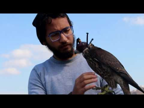 World Wildlife Day Egypt 2017 - Raptors Club Falconry