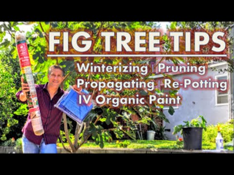 FRUIT (FIG) TREE TIPS: Winterizing | Pruning | Propagating | Re-Potting | IV Organic Paint