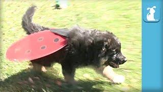 Fluffy German Shepherd Puppy Is A Pretty Lady Bug - Puppy Love