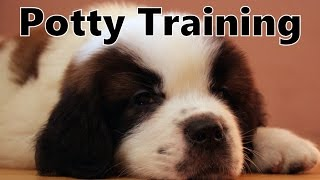 How To Potty Train A Saint Bernard Puppy - St Bernard House Training Tips - Saint Bernard Puppies
