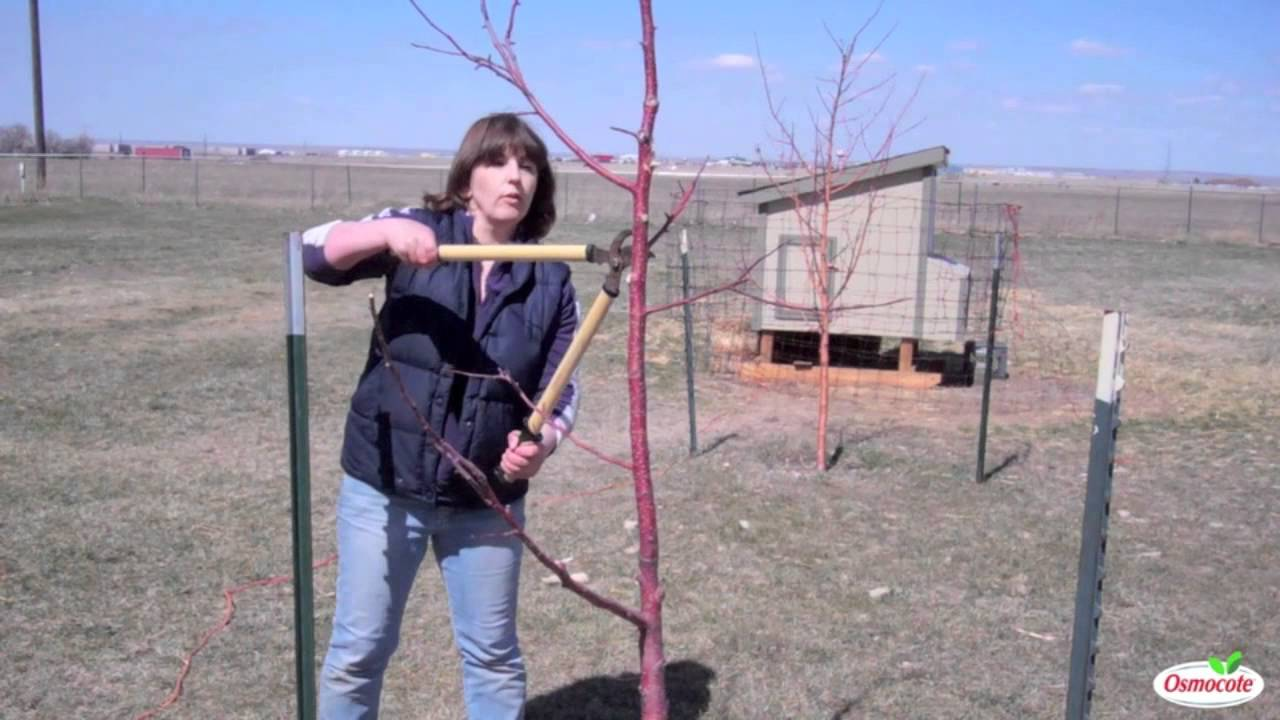 Time Of Year To Prune Fruit Trees Part - 35: Garden Tutorial: Pruning Fruit Trees