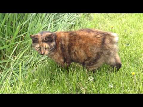 My two Manx cats playing in the backyard - mes deux chats -  mis dos gatos