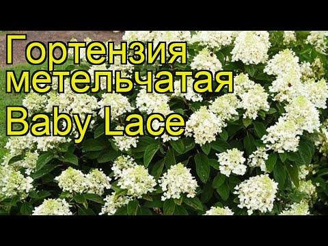 Гортензия метельчатая Беби Лейс. Краткий обзор, описание hydrangea paniculata Baby Lace