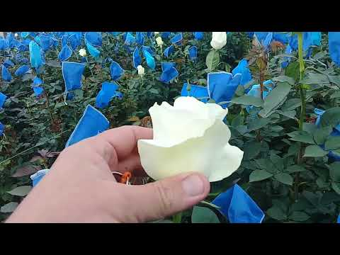 Сорта роз White Chocolate и Proud в теплице на Эквадорской плантации роз