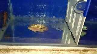 baby kamfa f2 flowerhorn fish