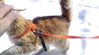котенок мейн кун Барс-Бегемот на зимней прогулке