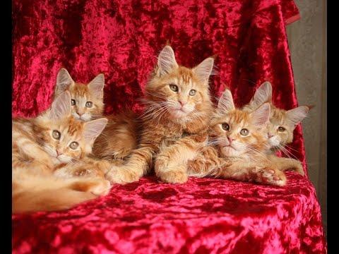 Сколько стоит породистый котенок из питомника? / Цена мейн-куна / Питомник Лирикум