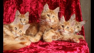 Смотреть видео цена котенка мейн кун