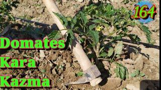 164 Domatesde kara yazma işlemi nedir nasıl ve niye yapılır. Domates yetiştiriciliği ekimi bakımı