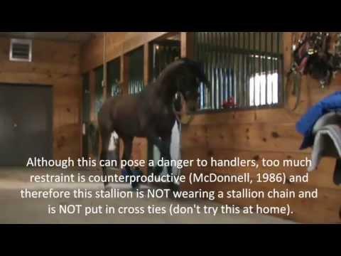 Stallion Behavior -  Redirected Behaviour / Self Mutilation / Aggression in horses