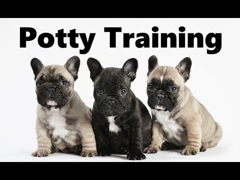 How To Potty Train A French Bulldog Puppy - French Bulldog House Training - French Bulldog Puppies
