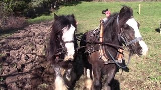 Ploughing Old Grassland With Horses (And Planting Potatoes The Old-Fashioned Way)