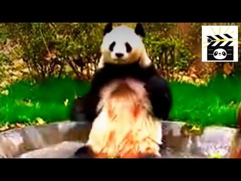 Panda taking a bath: giant panda cleaning itself