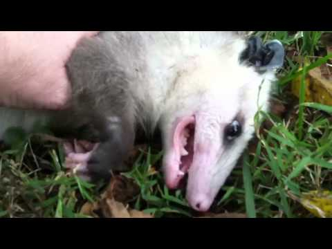 Young opossum playing dead