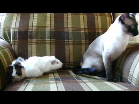 Thumbnail for Cat Video Guinea Pig vs Cat