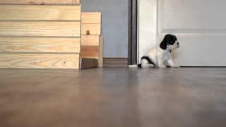 Продажа щенков Американского кокер спаниеля