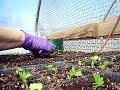 Transplanting Celeriac