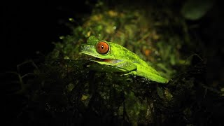Small Red eyed Tree Frog