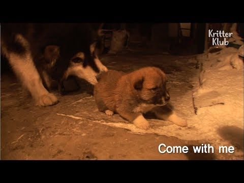 Alaskan Malamute Steals Puppies | Kritter Klub