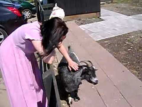 Amsterdam-Zaandijk road trip pet goat