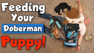 What to Feed a Doberman Puppy—and How to Do It RIGHT