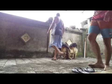 Dog breeding Pawang Kawin dogy's Bali