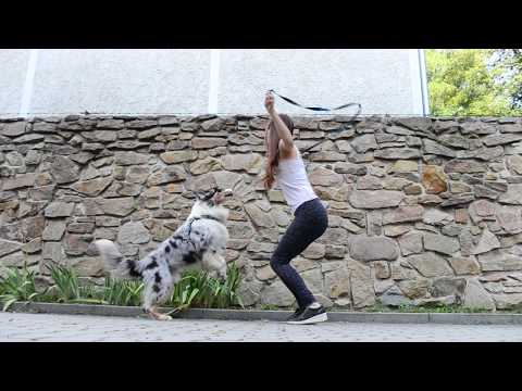 DOG TRICKS BY AKIM - AUSTRALIAN SHEPHERD 6 YEARS !