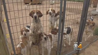 A neighborhood dispute over dozens of fox hunting hounds, kenneled ...