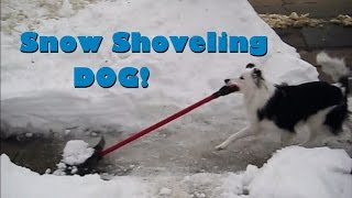 Snow Shoveling Dog - Paige the Border Collie