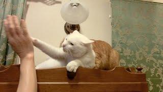 棚の上で休んでいた兄猫チロですが、ひろしに見つかってしまいました。...