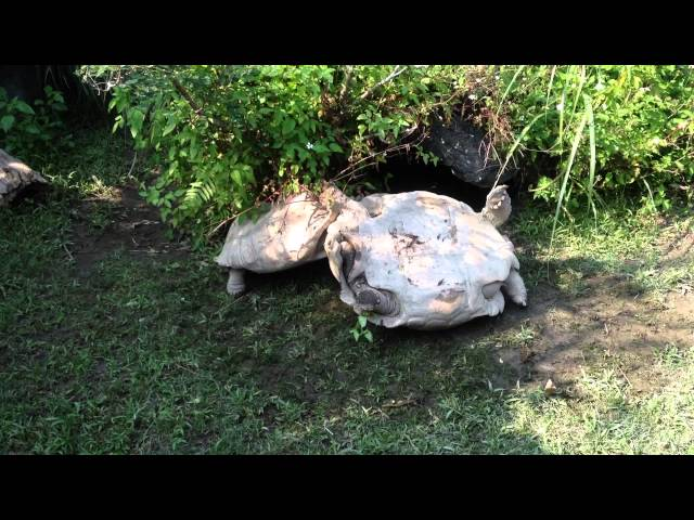 Amazing!!!The tortoise turning over, smart companion has saved it…動物也是有感情的~謝謝你救了我
