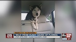 'Milo' from Husky Haven of Florida | ABC Action News Sunday Rescues In Action