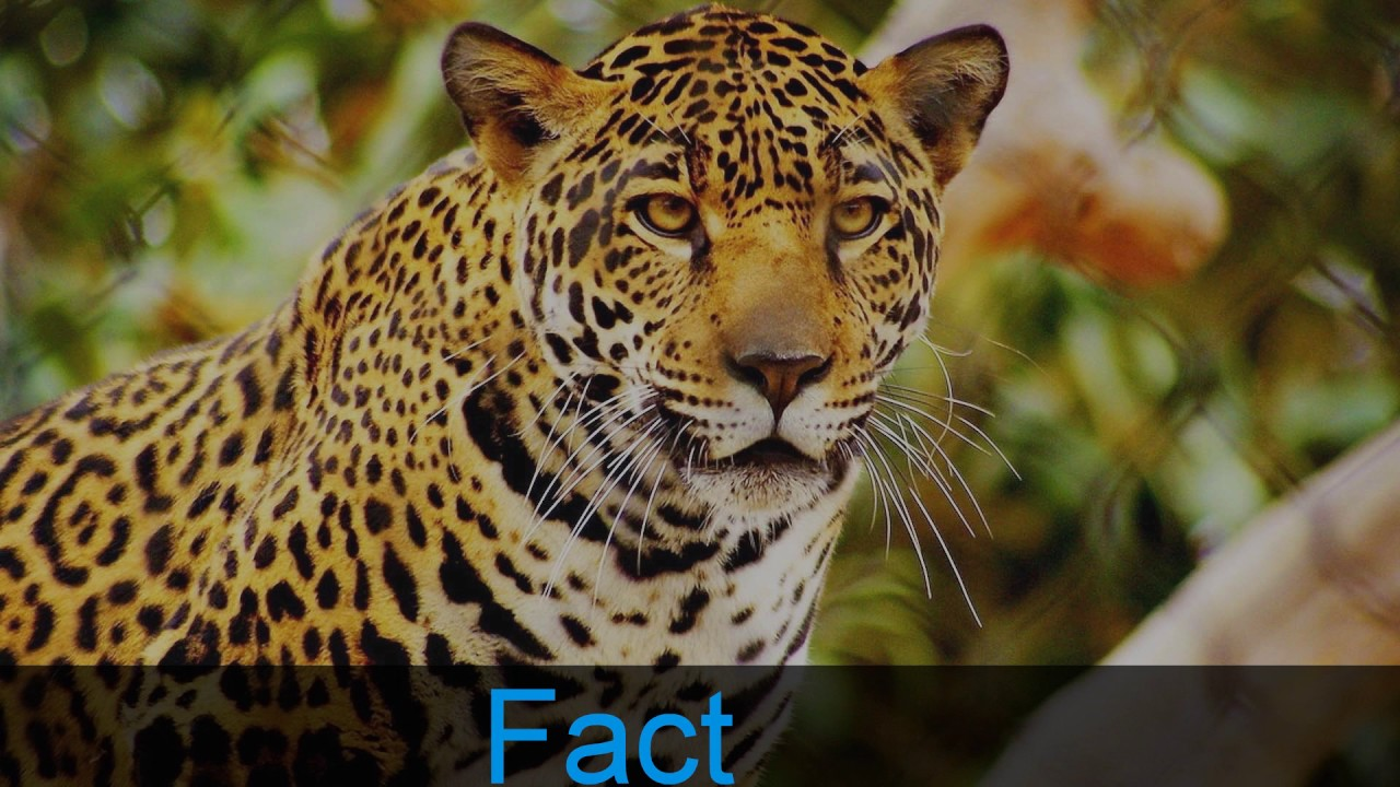 10 Amazing Jaguar Facts