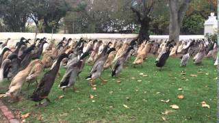 Indian Running Ducks - amazing scenes from a wine farm in South Africa