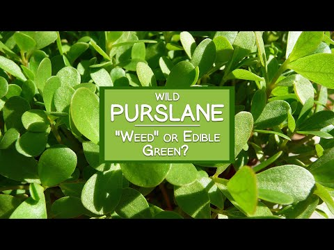 Wild Purslane Plant A Common Quot Weed Quot Or Edible Super Green