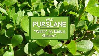 Wild Purslane Plant, A Common