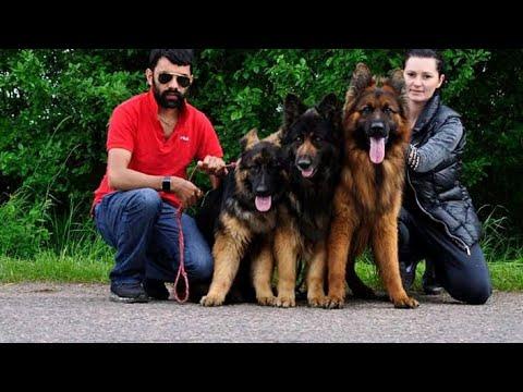Import line German Shepherd