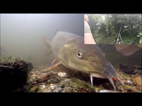 Barbel fishing and feeding under water! (boilies, pellets)